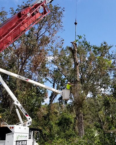 pine tree removal, oak tree removal, oak tree trimming, tree care professionals, tree branch removal, tree experts, dead tree removal