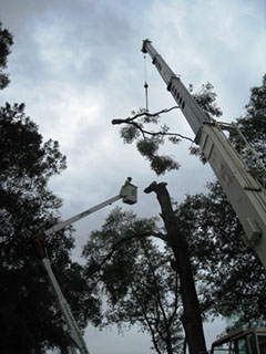 Tree service in Orlando removing tree limb with crane