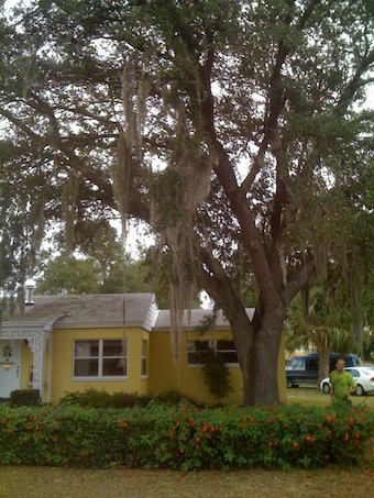 Live Oak Before Pruning