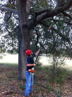 Orlando tree service trims low branches of oak tree
