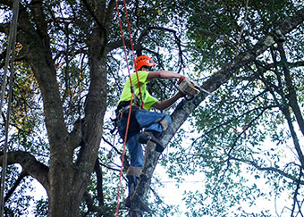 Crew member in tree pruning limbs in Orlando