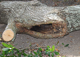 Ask a certified arborist, how can I tell when I should remove a tree if it has disease or rot?